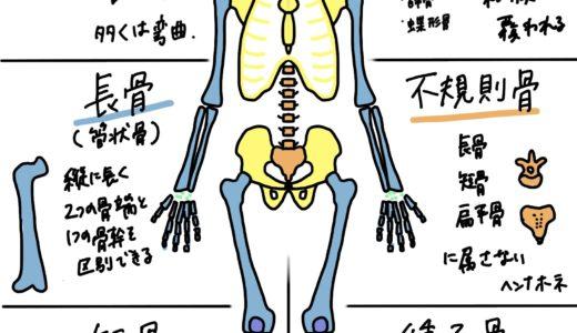 学生向けカラフル図解!骨の組織、骨化、形状、軟骨について 国家試験対策も│解剖学