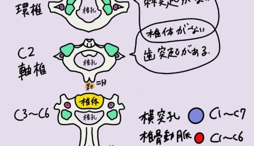 学生向けカラフル図解!脊椎骨(頸椎・胸椎・腰椎・仙椎)について 国家試験対策も│解剖学