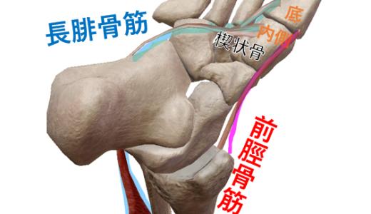 下肢下腿の筋肉・支配神経・作用(内反or外反、底屈or背屈)の学生向け覚え方!解剖学