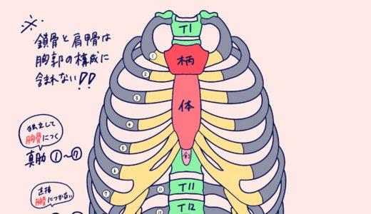 胸郭(胸骨・肋骨)、上肢帯(肩甲骨、鎖骨)の学生向けカラフル図解! 国家試験対策も│解剖学