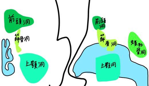 呼吸器(気道、副鼻腔、咽喉頭、肺)の覚え方!学生向けカラフル図解!国家試験対策も│解剖学